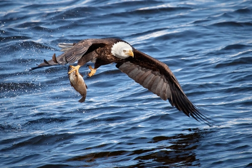 bald eagle fishing near the gulf of mexico in florida