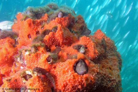 mexico-beach-fl-diving-blenny-colony