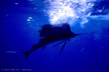 mexico-beach-fl-fishing-sailfish-2